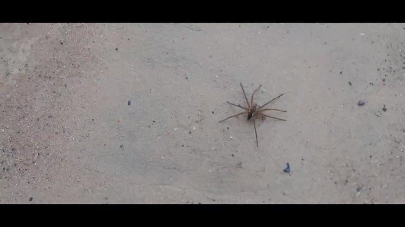 паук охотник каёмчатый