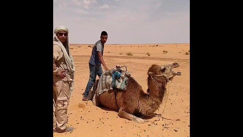 Верблюд подросток