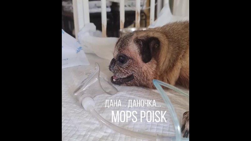 Видео от Международная команда помощи мопсам МОПС ПОИСК