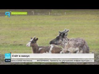 В Ямальском районе уточнят масштабы зимнего падежа оленей