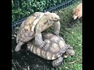Так занимаются сексом черепахи 🐢