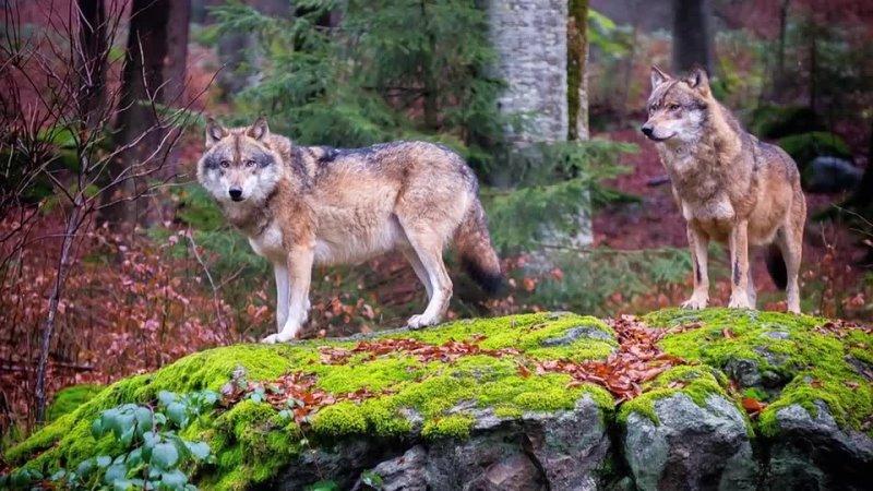 Мужчина освободил эту волчицу из капкана спустя два года ее стая отплатила добром