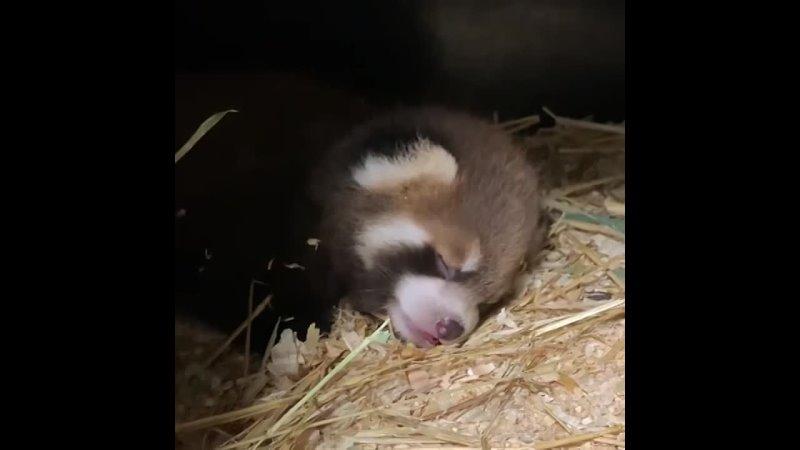 Красная панда Animal Planet