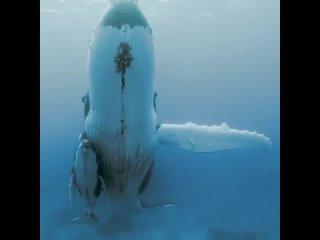 Горбатые киты - мать и дитя в тёплых водах Тихого океана 🐋