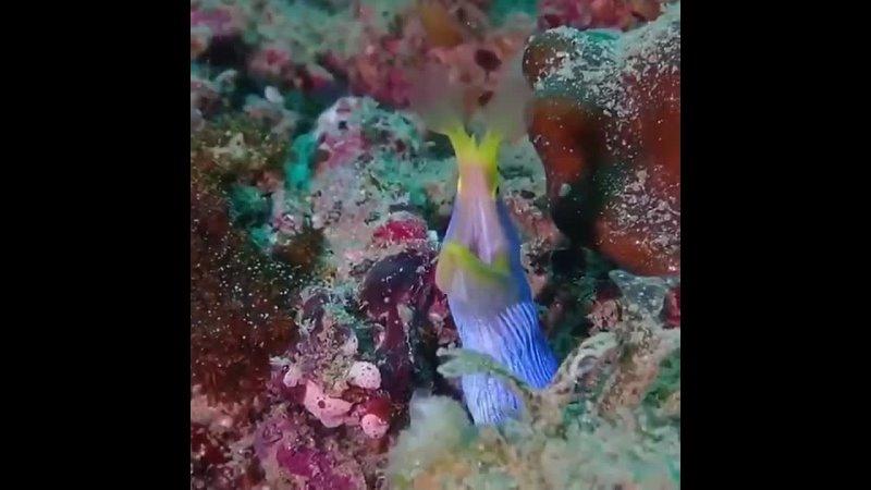 Риномурена Rhinomuraena quaesita ареал обитания коралловые рифы Индийского и Тихого океана