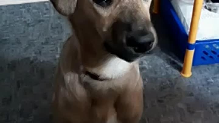 Видео от ХелпДогМини СПБ.Помощь миниатюрным породам собак