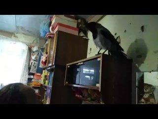 Серая ворона Жорик