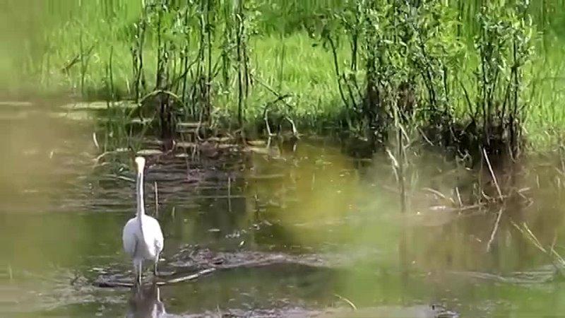 Большая белая цапля ББЦ рыбачит отдыхает Egretta alba Птицы Беларуси 360 X 640 mp4