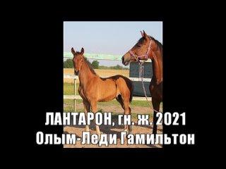 ЛАНТАРОН, гн.ж. 2021 (Олым-Леди Гамильтон)