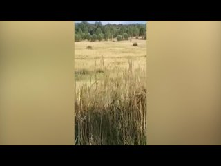 Грибник лишился ноги в результате нападения медвед...