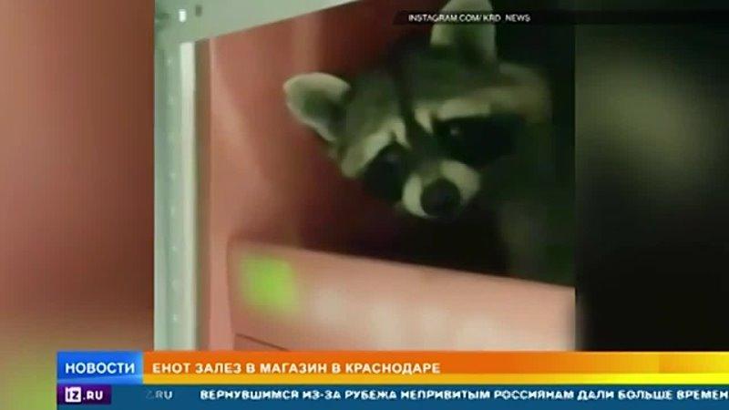 Кубанский енот грабитель укрылся среди вина в магазине