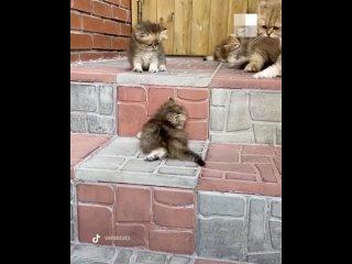Видео с новосибирскими котятами породы британская ...