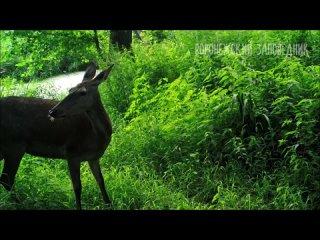 В Липецкой области фотоловушка сняла косуль, лосят и волка