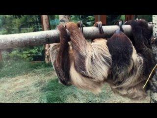 Ленивцы из Ленинградского зоопарка и их ленивый день