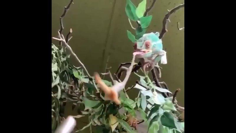Взгляд от первого лица добычи хамелеона