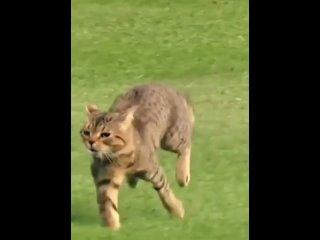 кот бегун