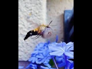 🦋 Бабочка Бражник 🦋