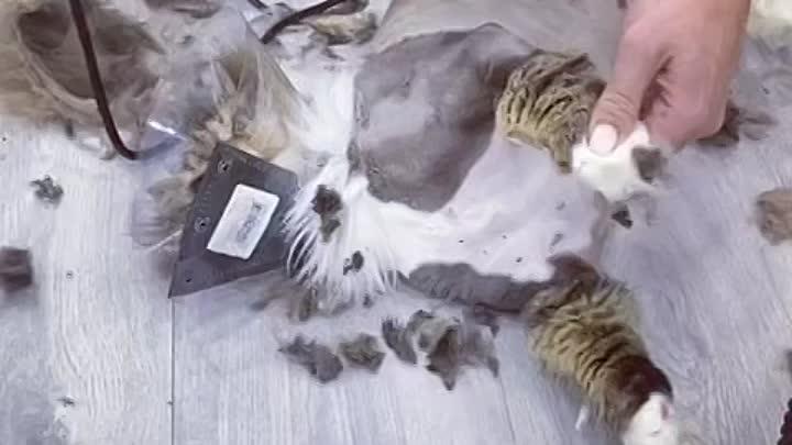 Видео от Стрижка собак и кошек. Зоосалон Nicole