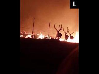 Пожарные спасли оленей из ловушки между бушующим пламенем и колючими заборами