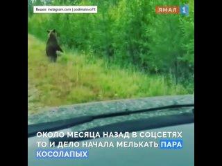 жители Ямала обеспокоены судьбой «звездных» медведей, прирученных людьми