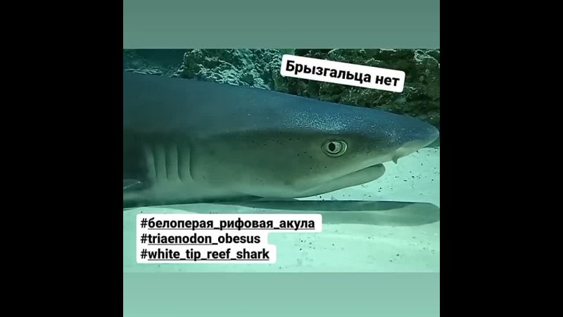 Белопёрая рифовая акула Triaenodon obesus