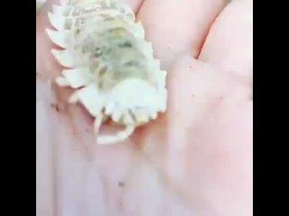 НАБЛЮДАЙ • Находка на пляже 🦐Морской таракан - это вид донных ракообразных. Также его называют ставница. Внешне он немного схо