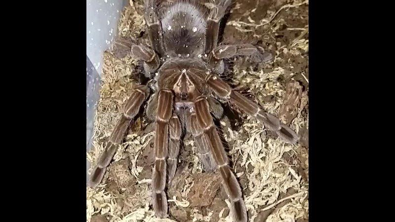 павуки