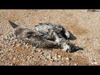 Массовую гибель птиц зафиксировали на побережье Сиваша