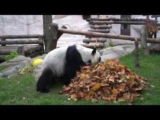 Для панд из Московского зоопарка тоже устроили фотосессию...
