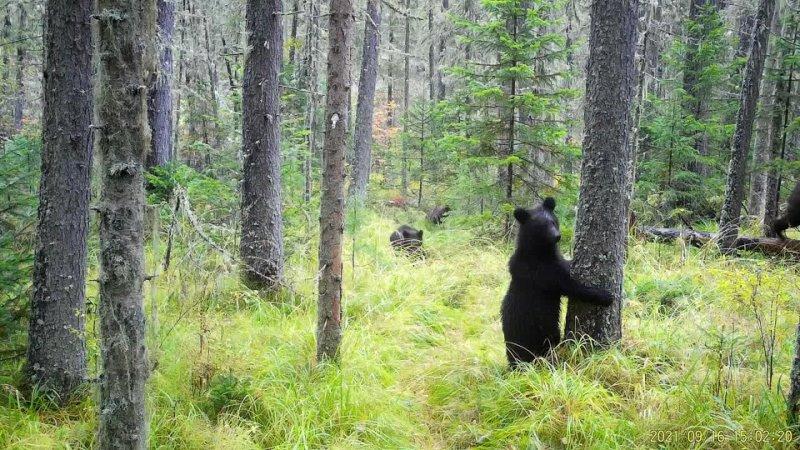 Рысь и медвежата на Столбах