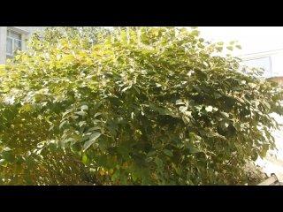 #Керчь удивительная. Сибирский бамбук возле мэрии....