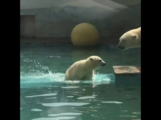 Белому медвежонку – самочке Айке исполнилось 9 месяцев!