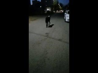 Огромная собака ходит по улице Пушкина, ушла в сто...