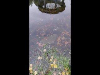 Кто то выпустил черепашку в парке лосева. Найдись ...