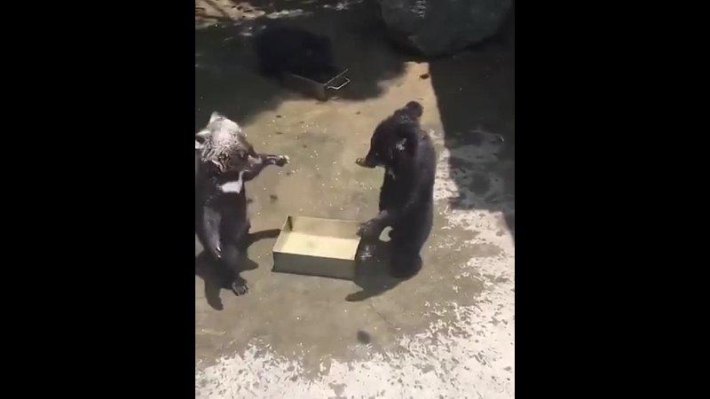 Очаровательные медвежата играючи дерутся🐻🐻