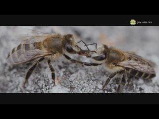 Мудрость диких пчёл