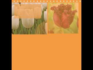 интересные сорта тюльпанов.mp4