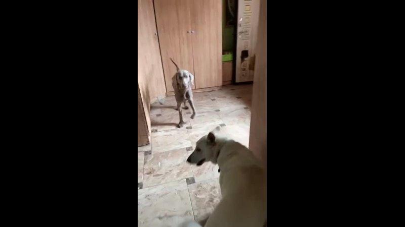 Видео от Команда помощи ВЕЙМАРАНЕР веймарская легавая