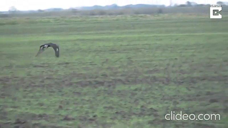 Обхитривший беркута заяц попал на видео и вдохновил Сеть