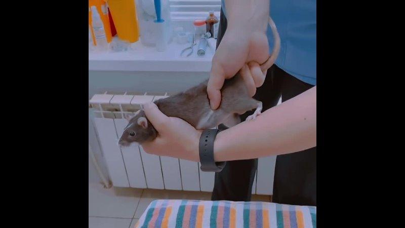 Что делать если крыса подавилась ‼️НЕ ВЫПОЛНЯЙТЕ МАНЁВР ЕСЛИ КРЫСА ДЫШИТ ИЛИ ВЫ НЕ УВЕРЕНЫ ЧТО ОНА ПОДАВИЛАСЬ