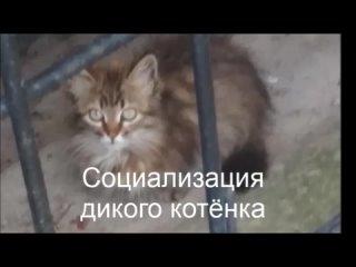 Социализация дикого котёнка
