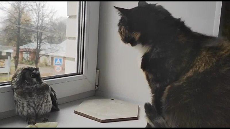 Спасенный мохноногий сыч из Калашниково   видео: Алексей Филатов Тверь