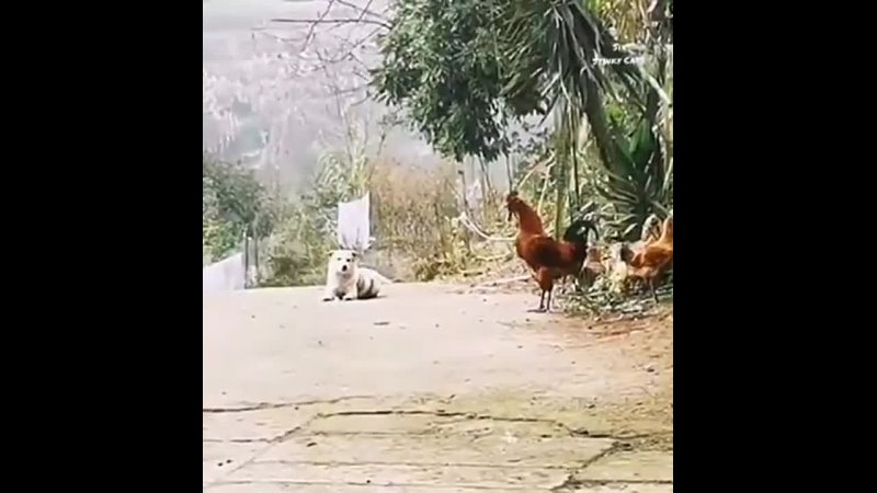 Dog Tried To Being A Rooster