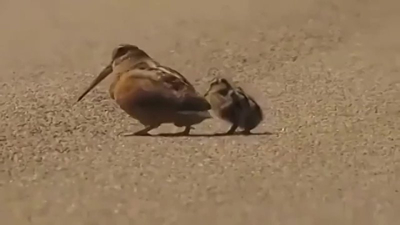 Вальдшнеп Animal Planet