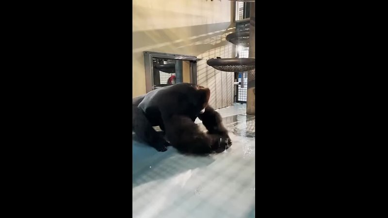 This gorilla knows how to bboy Hes so Amazing