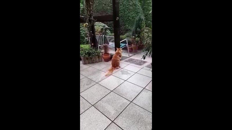 Видео от Купить котёнка мейн кун в Беларуси