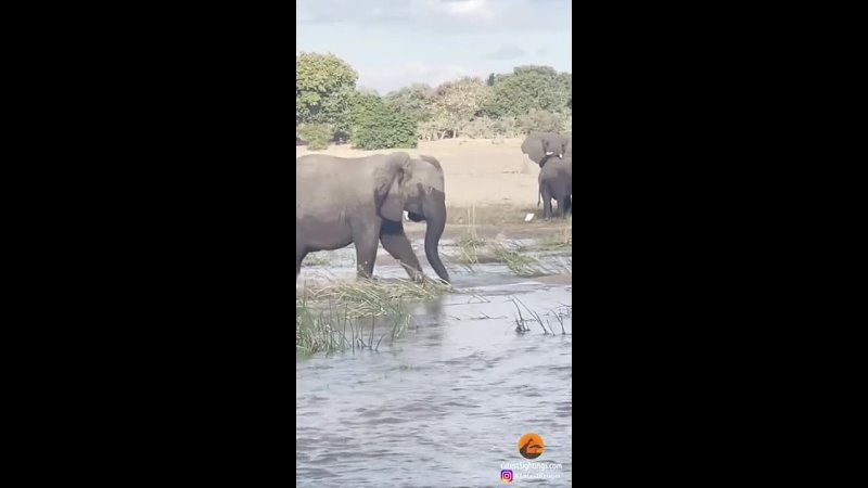 Elephant Makes Rare Fatal Attack To Protect Her Baby from a crocodile Mother love is selfless