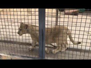 Львенок-говорун посреди тигриного братства! Lion cub in the midst of the tiger brotherhood!