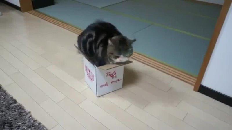 Кот Мару король коробок