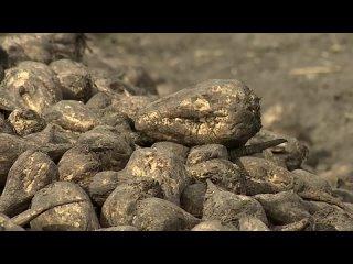 Аграрии Алтайского края накопали более одного миллиона тонн сахарной свёклы.